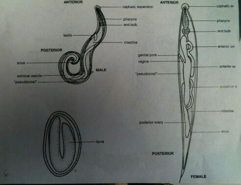 paraziti enterobius vermicularis