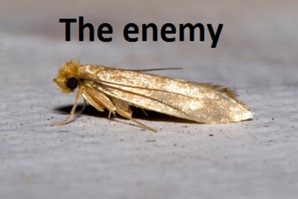 Moliile, dusmanul tacut din casa ta. Afla cum sa scapi de molii - asspub.ro