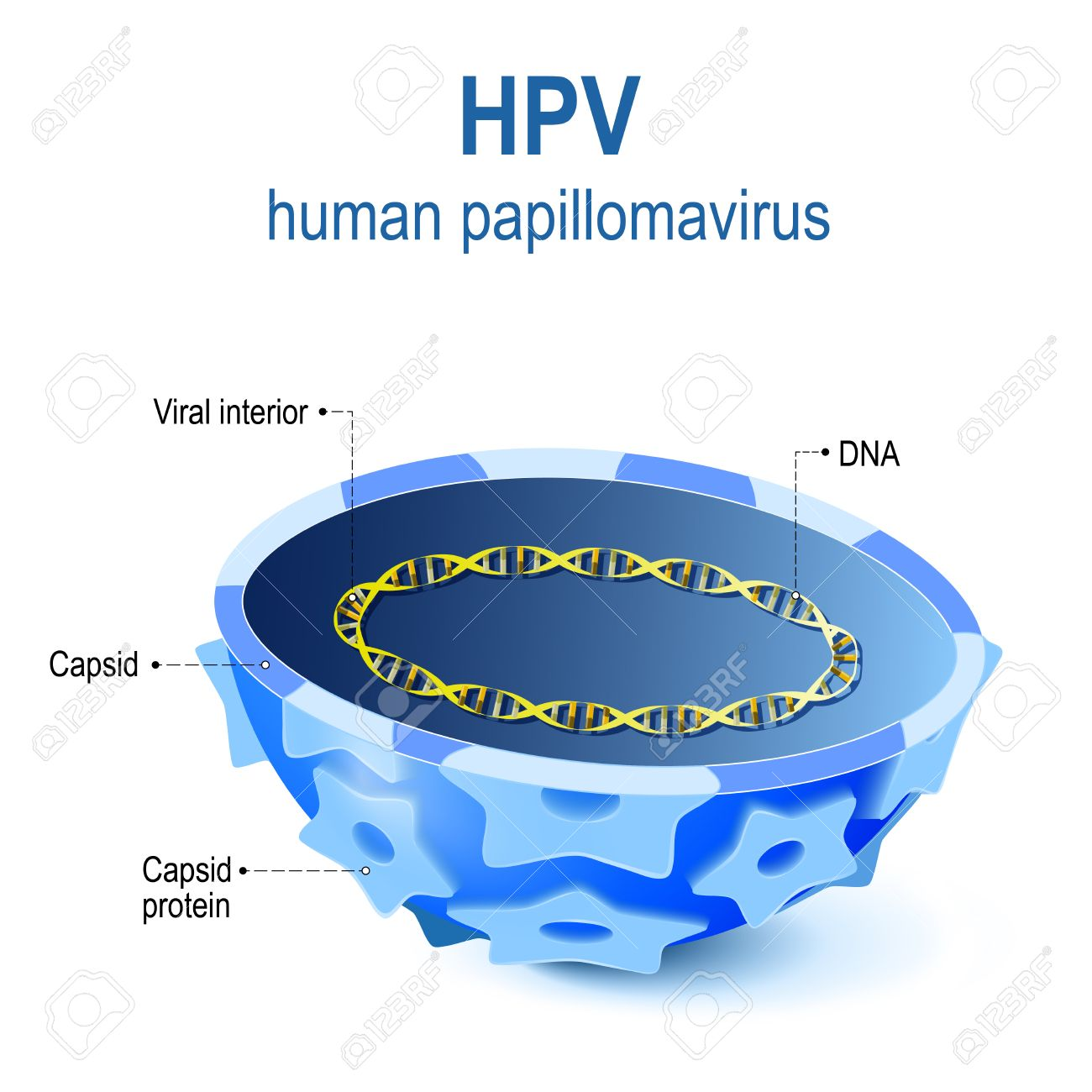 hpv virus diagram sintomi papilloma lingua