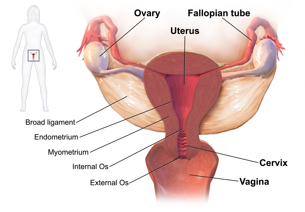 cancer uterine lining thickness)