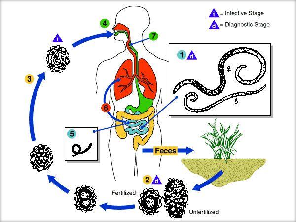 Panglica vierme rotunde, Frecvența viermilor canini și paraziți intestinali