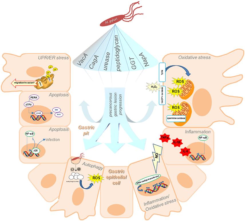 enterobius vermicularis ciclo de vida cdc cancer la gat cu metastaze