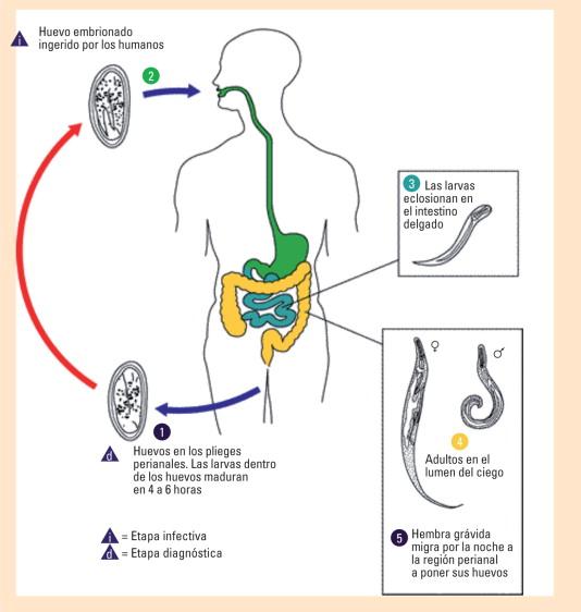 enterobiasis cadena epidemiologica
