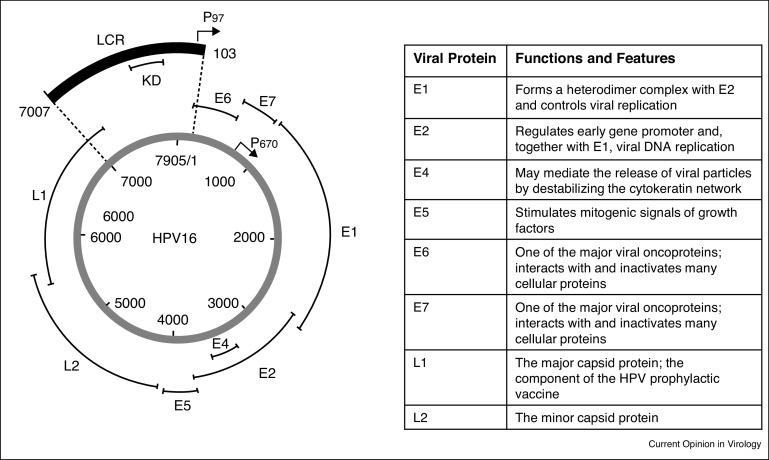 human papillomaviruses and carcinogenesis well-established and novel models)