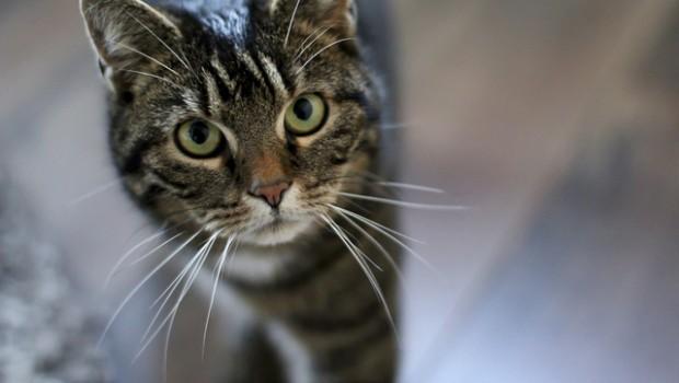 papilloma del gatto
