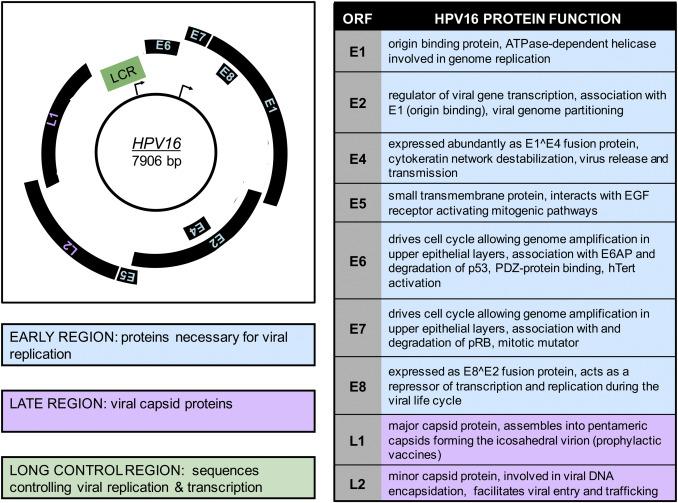 papillomavirus genome structure)