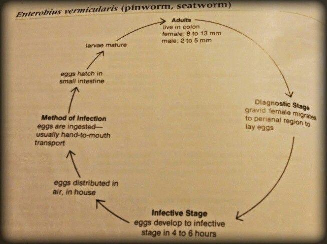 enterobius vermicularis distribution