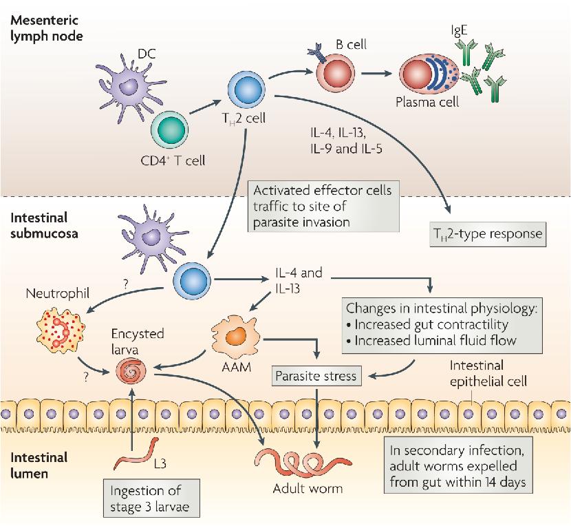 helminth infection gut)