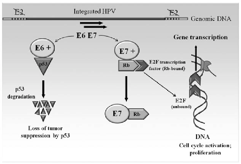 Gardasil (human papillomavirus type 6 L1 protein...) - J07BM01
