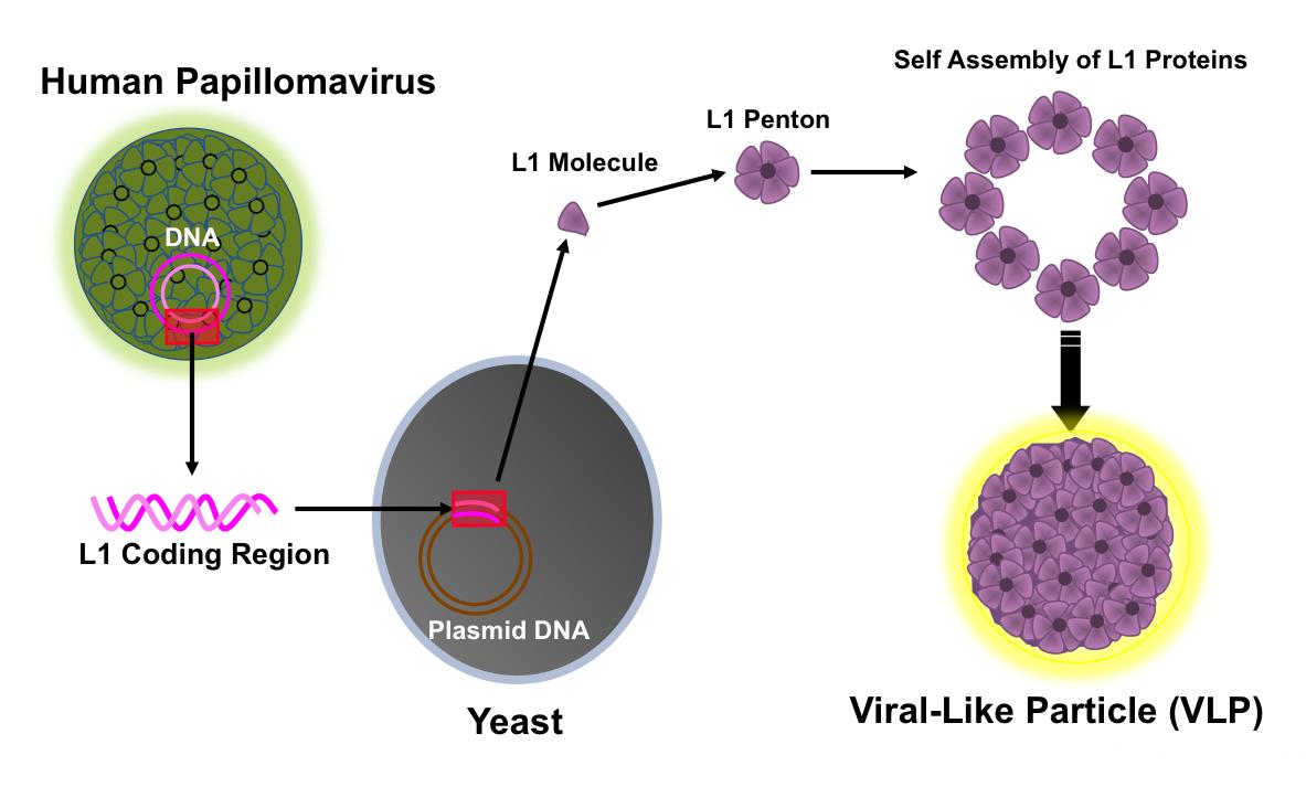 pathology of papillomavirus
