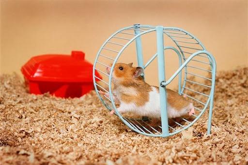paraziti hamsteri)