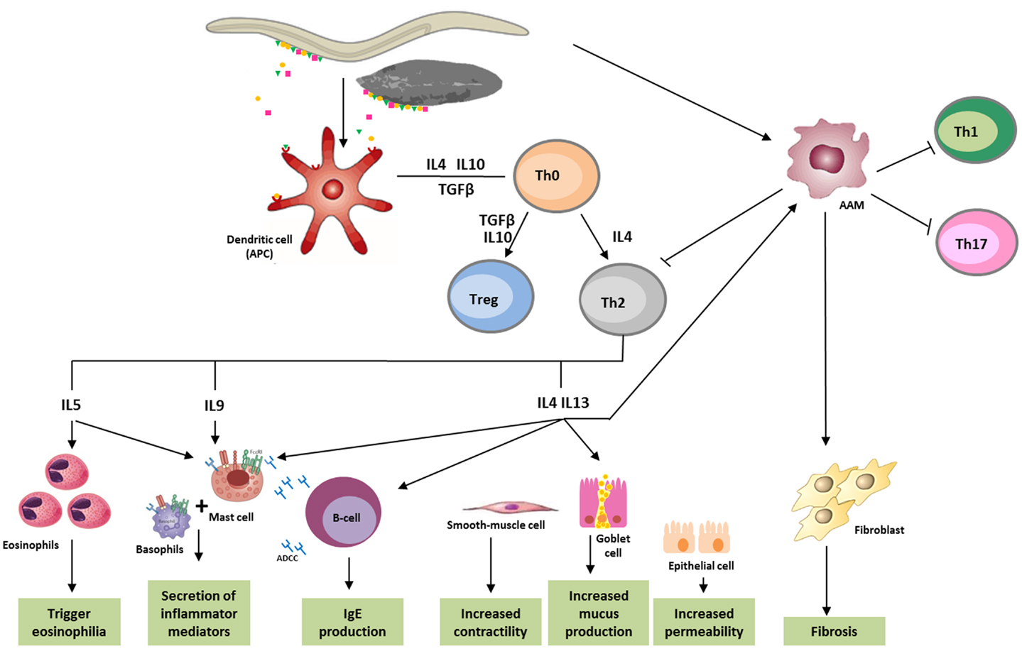 helminth infection and host immune regulation)