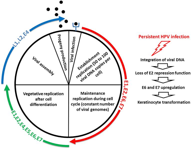 human papillomaviruses and carcinogenesis well-established and novel models