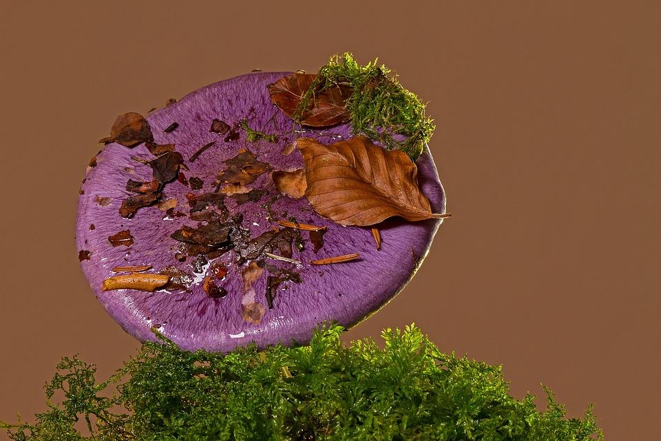ciuperci violete
