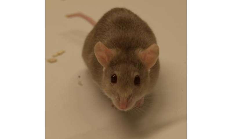 human papillomavirus in rats