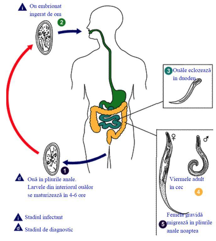simptome infestare cu oxiuri enterobius vermicularis vector