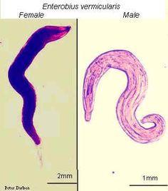 enterobius vermicularis terapia)