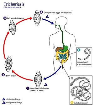 enterobius vermicularis ciclo de vida cdc)