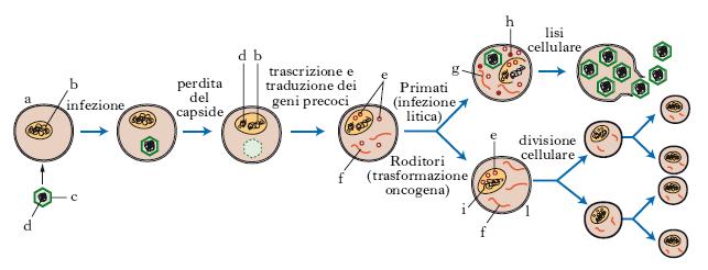 replicazione del papilloma virus)