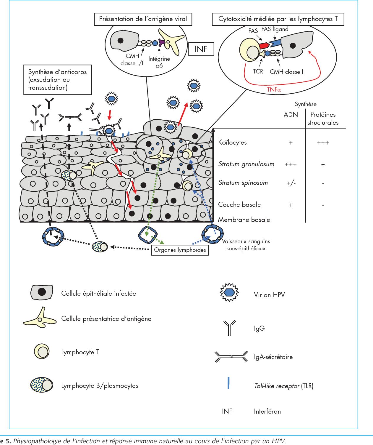 papilloma virus richiami glande virus del papiloma humano