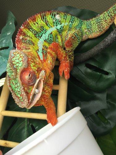papillomavirus in chameleons)
