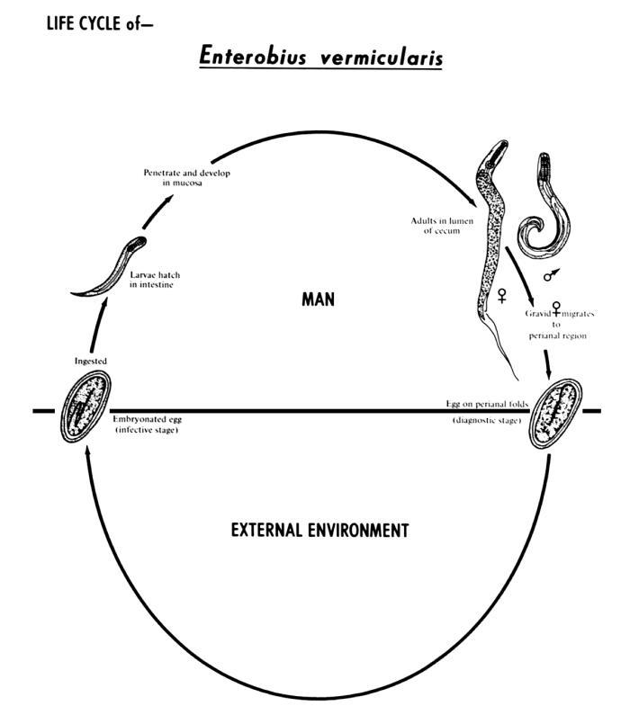 enterobius vermicularis diagram