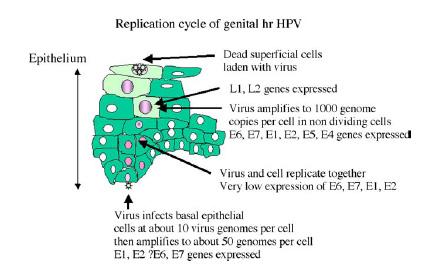 human papillomavirus vaccine boots)