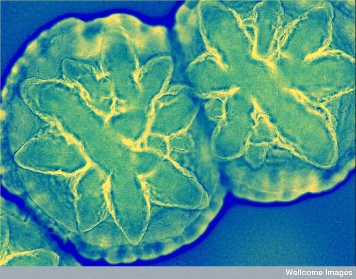 bacterie 7 lettres)