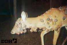warts on deer face)