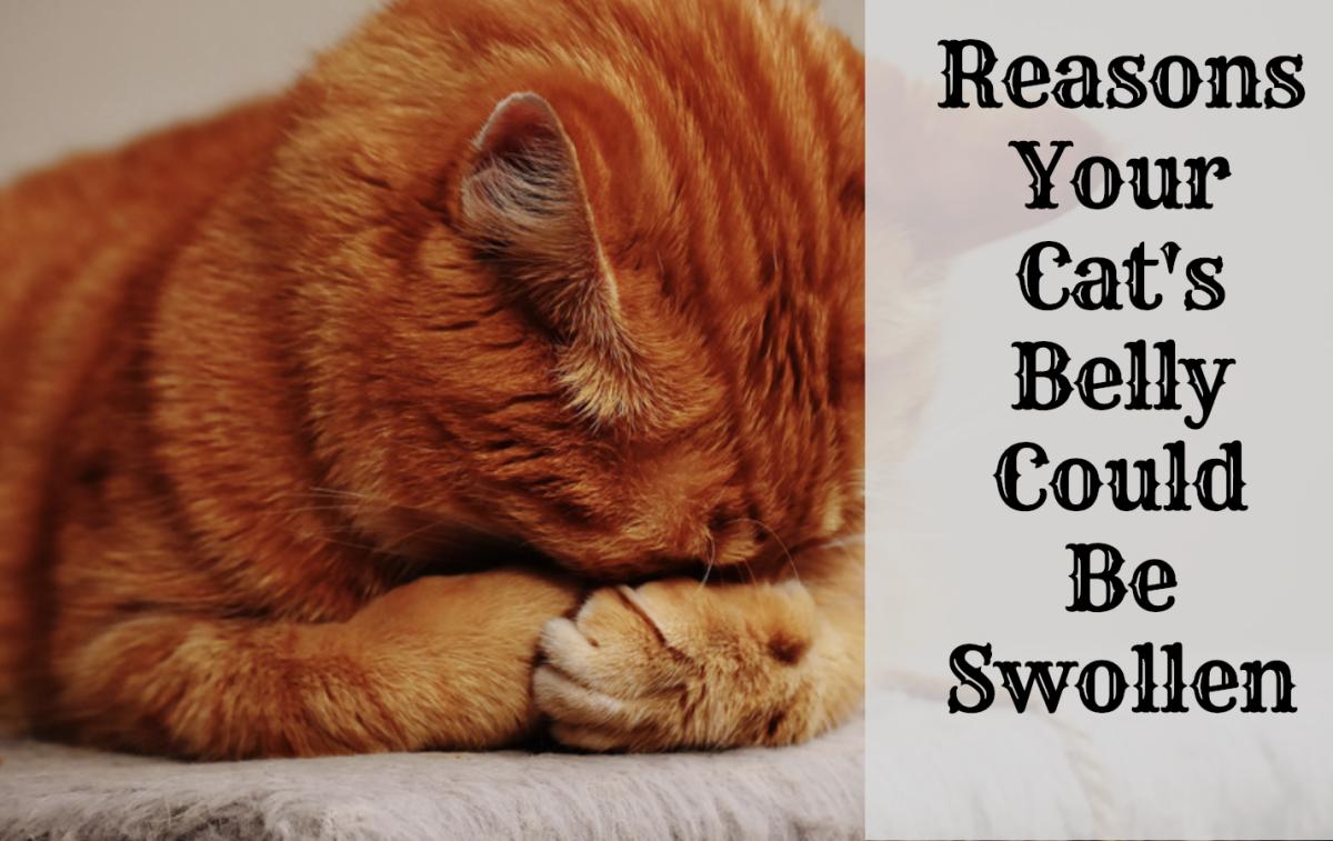 cat cancer abdominal fluid