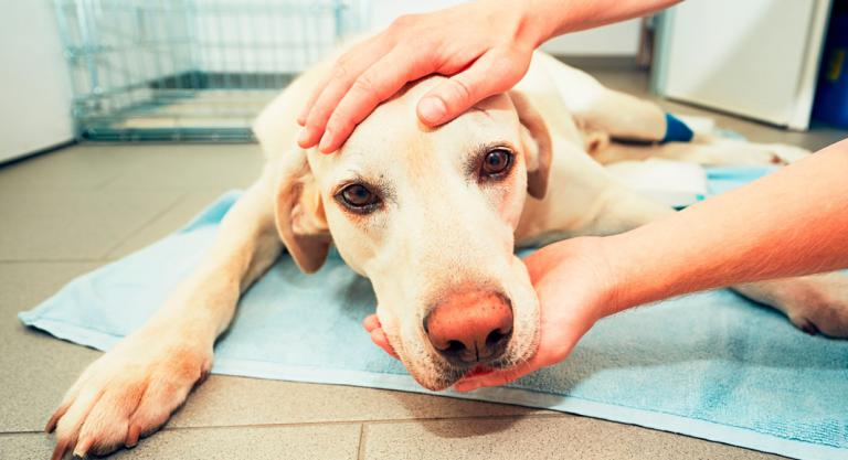 cancer rectal perros