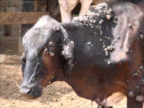 papillomatosis in cows