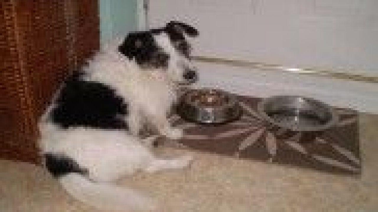 cancer de prostata en perros