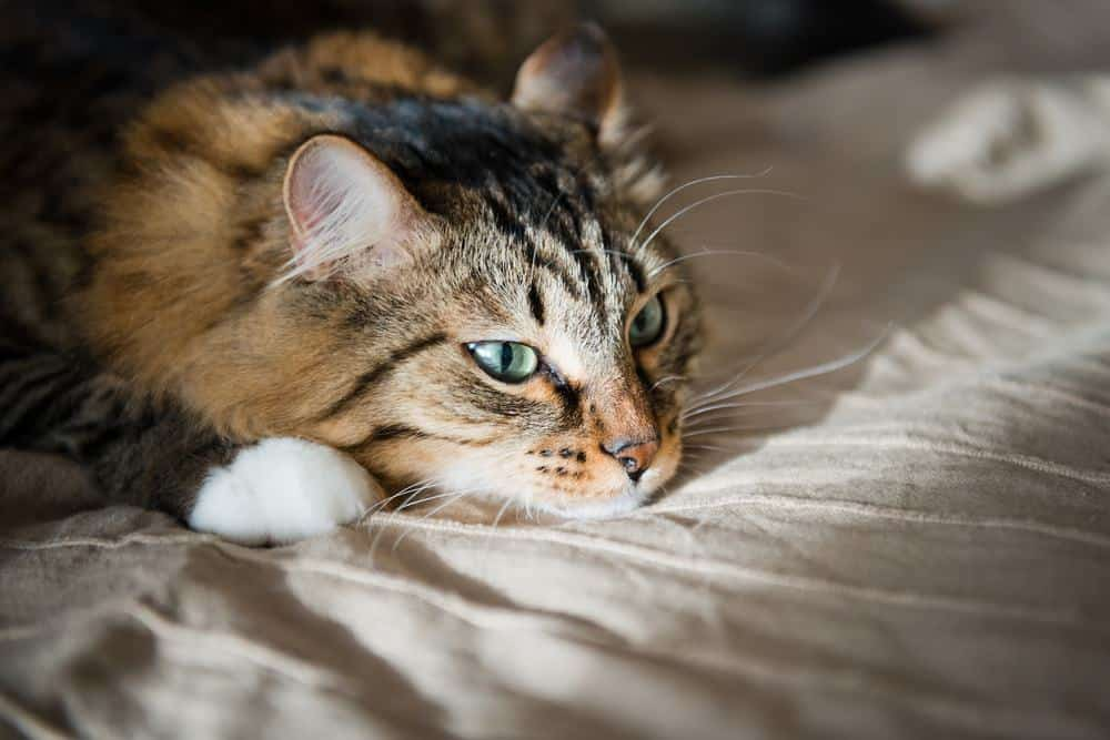 feline papillomas and warts hpv virus clear genital warts