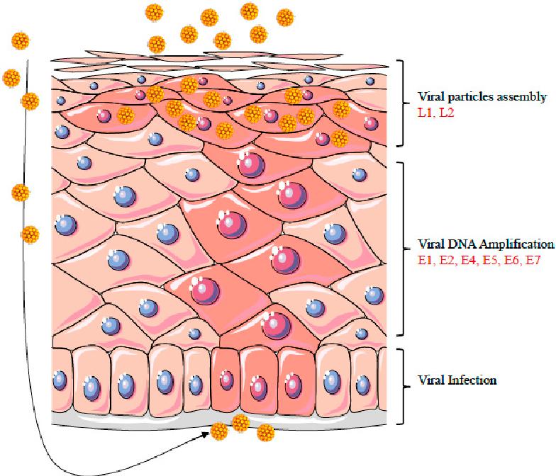 human papillomavirus viral replication