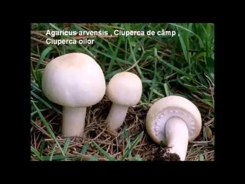 3 ciuperci comestibile