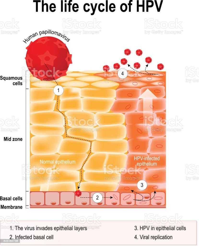 hpv virus life cycle)