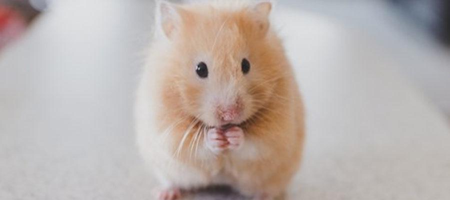 paraziti hamsteri