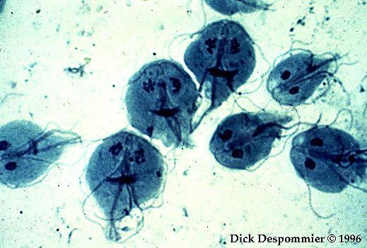 paraziti lamblia