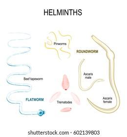 helminths tapeworm)