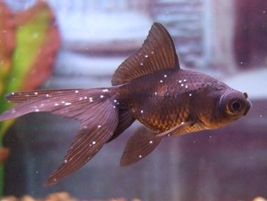 akvarijni ryby paraziti)