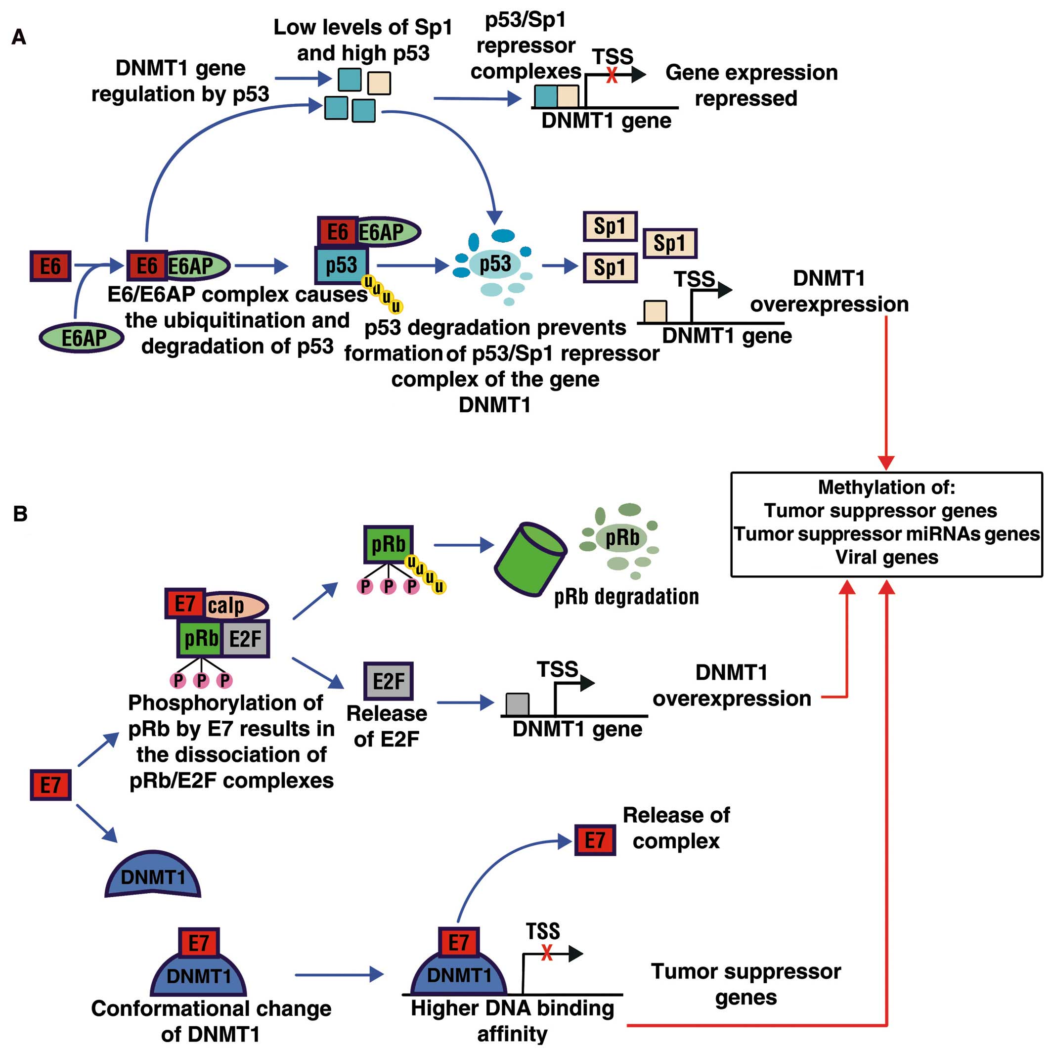 hpv cancer genetics papillomatosis transmitted