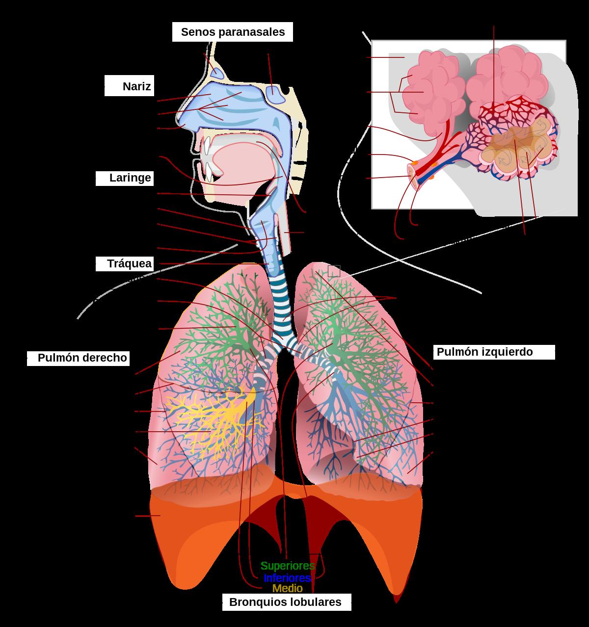 cancer pulmonar y de las vias respiratorias)