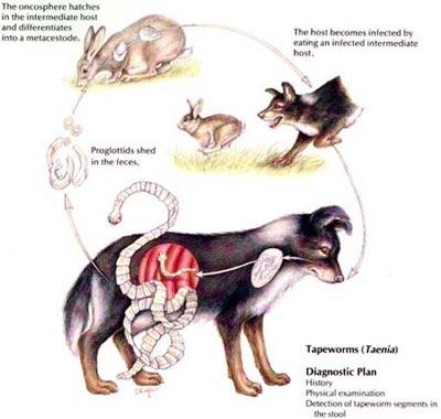 simptome paraziti la catei