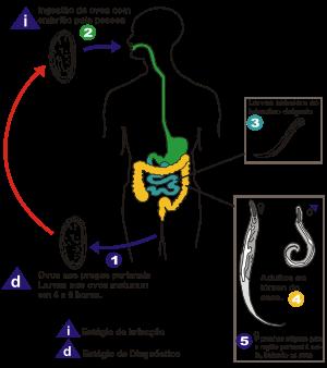 ciclo de vida de los oxiuros