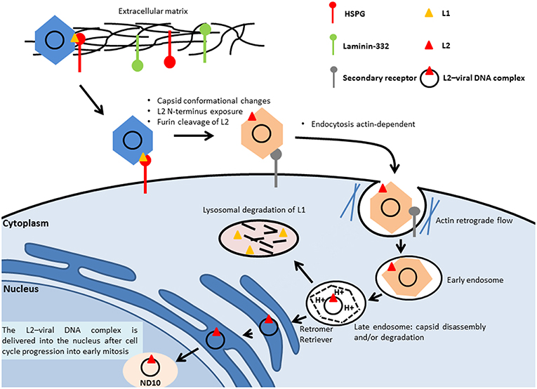 establishment of human papillomavirus infection requires cell cycle progression)