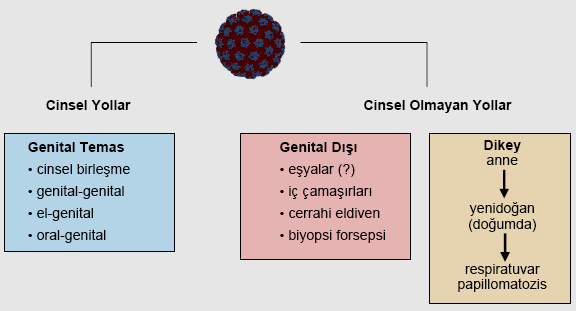 humán papilloma vírus bulasma suresi)