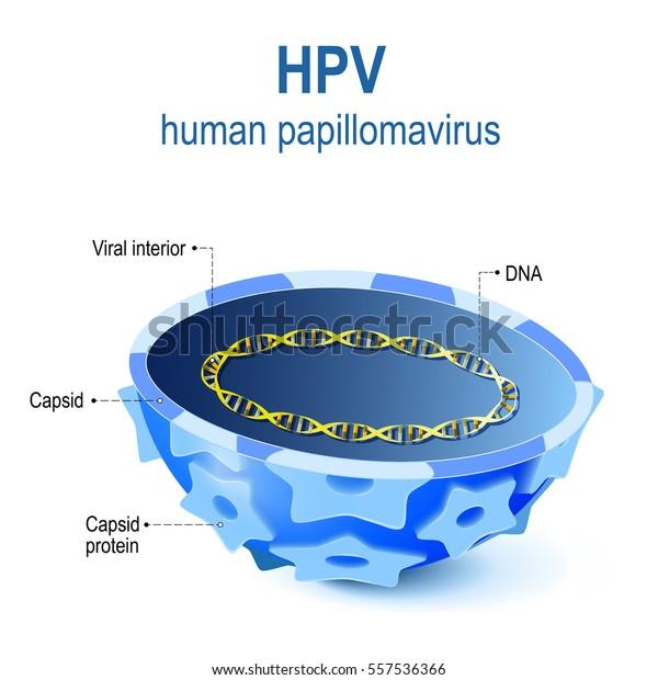 il papilloma virus a)
