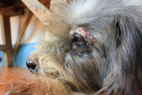dermatite canina)