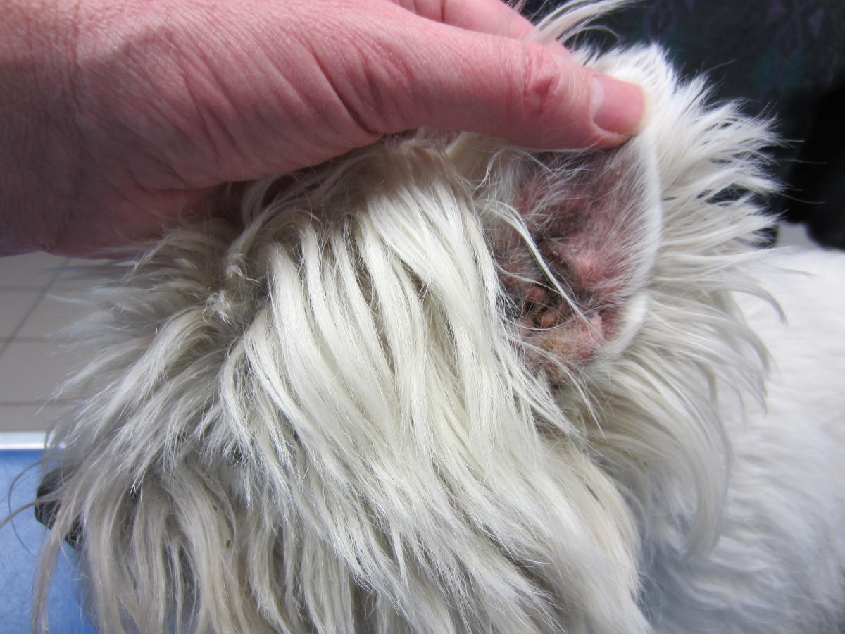 dermatite yeux chien)